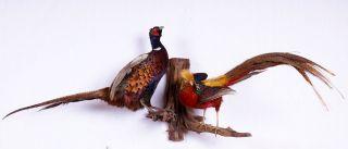 Jagdfasan Und Goldfasan Auf Ast Pheasant Taxidermy Mit Bescheinigung Bild