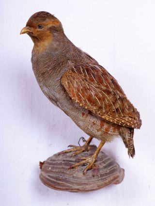 Schönes Rebhuhn Grey Partridge Taxidermy Mit Bescheinigung Bild