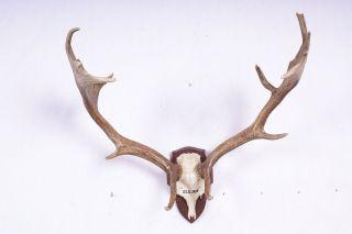 Altes Damhirschgeweih Von 1939 Fallow Deer Trophy Bild