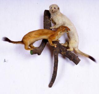 Weißes Und Braunes Hermelin Stoat Taxidermy Mit Bescheinigung Bild
