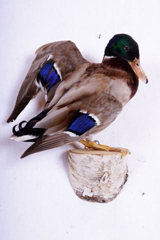 Schöner Stockerpel Mallard Duck Taxidermy Mit Bescheinigung Bild