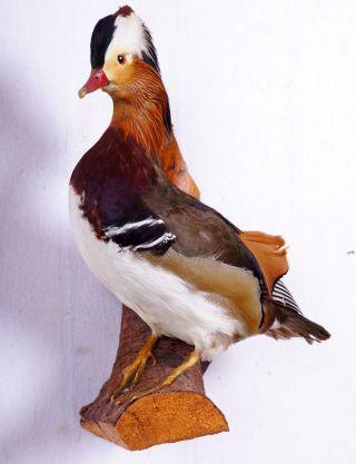 Schöner Mandarinerpel Mandarin Duck Taxidermy Mit Bescheinigung Bild