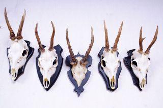 5 Gabler Rehgeweihe Auf Schwarzen Trophäenbretter Roe Deer Trophies Bild