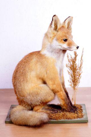 Junger Fuchs Fox Taxidermy Mit Bescheinigung Bild