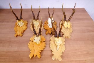 6 X 6 Ender Rehgeweihe Auf Geschnitzten Trophäenbretter Roe Deer Trophies Bild