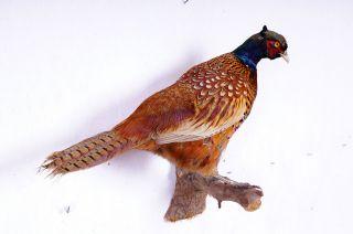 Schöner Jagdfasan Pheasant Taxidermy Mit Bescheinigung Bild