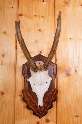 Schönes 6 Ender Rehgeweih Auf Trophäenbrett Roe Deer Trophy Bild