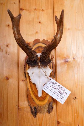 Kapitales 6 Ender Rehgeweih Auf Naturholzbrett Roe Deer Trophy Bild