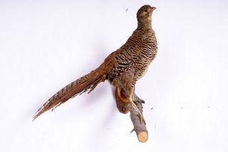 Schöne Jagdfasanhenne Pheasant Taxidermy Mit Bescheinigung Bild