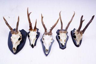 5 Schöne Rehgeweihe Auf Schwarzen Trophäenbretter Roe Deer Trophies Bild