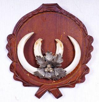 Wildschweintrophäe Mit Bescheinigung Zahnlänge: Bis 15 Cm Bild