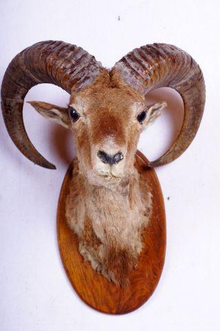 Schöner Mufflonkopf Auf Brett Mouflon Taxidermy Mit Bescheinigung Bild