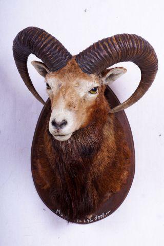 Schönes Mufflon Auf Trophäenbrett Mouflon Taxidermy Mit Bescheinigung Bild