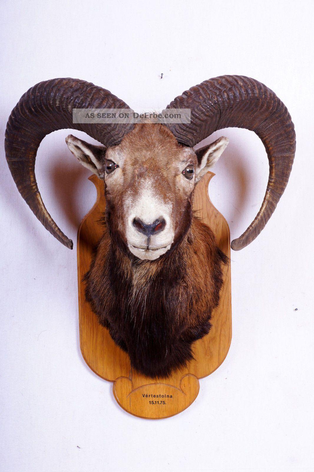 Schönes Mufflon Auf Trophäenbrett Mouflon Taxidermy Mit Bescheinigung Jagd & Fischen Bild