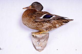 Schöne Stockente Mallard Duck Taxidermy Mit Bescheinigung Bild