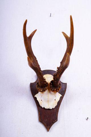 Schönes 6 Ender Rehgeweih Auf Trophäenbrett Roe Deer Trophy Höhe: 28 Cm Bild
