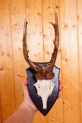 Abnormes Rehgeweih Auf Trophäenbrett Non Typical Roe Deer Trophy Bild