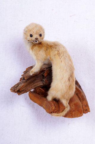 Schönes Mauswiesel Weasel Taxidermy Mit Bescheinigung Bild