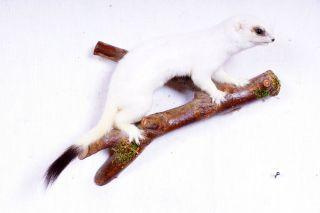 Weißes Hermelin Stoat Taxidermy Mit Bescheinigung Bild