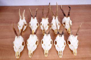 10 Rehgeweihe Mit Ganzen Nasen Roe Deer Trophies Bild
