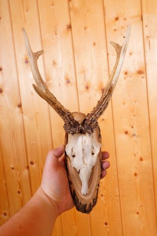 Schönes 6 Ender Rehgeweih Auf Naturholzbrett Roe Deer Trophy Bild