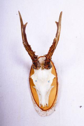6 Ender Rehgeweih Auf Naturholzbrett Roe Deer Trophy Höhe: 32 Cm Bild