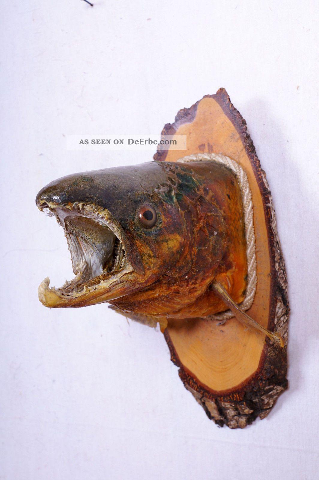 Alter Fischkopf Auf Trophäenbrett Fish Taxidermy Auslage: 25 Cm Jagd & Fischen Bild