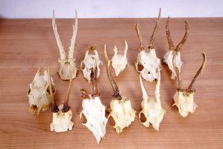 11 Rehgeweihe Zum Basteln Und Dekorieren Roe Deer Trophies Bild