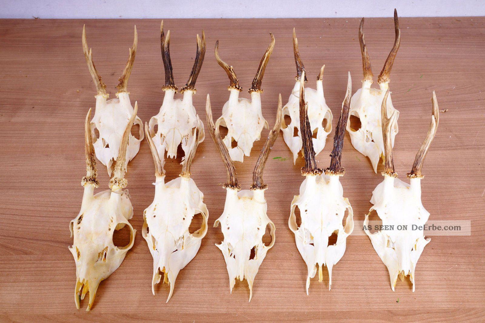 10 Rehgeweihe Zum Basteln Und Dekorieren Roe Deer Trophies Jagd & Fischen Bild