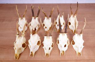 10 Rehgeweihe Zum Basteln Und Dekorieren Roe Deer Trophies Bild