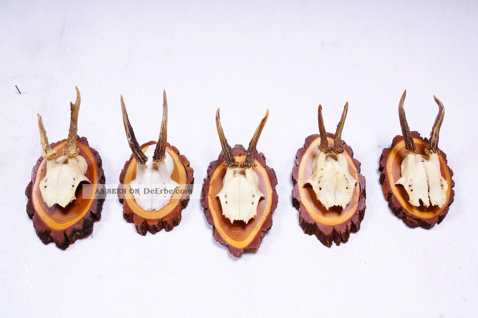 5 Rehgeweihe Auf Naturholzbretter Roe Deer Trophies Jagd & Fischen Bild