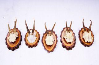 5 Rehgeweihe Auf Naturholzbretter Roe Deer Trophies Bild