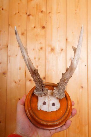 Schönes 6 Ender Rehgehörn Auf Trophäenbrett Roe Deer Trophy Bild