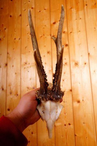 Kapitales Ungerades 6 Ender Rehgeweih Roe Deer Trophy 320 G Bild