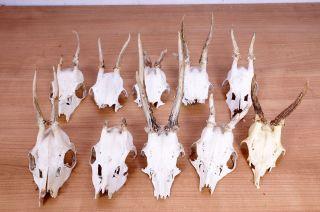 10 Alte Rehgeweihe Zum Basteln Und Dekorieren Roe Deer Trophies Bild