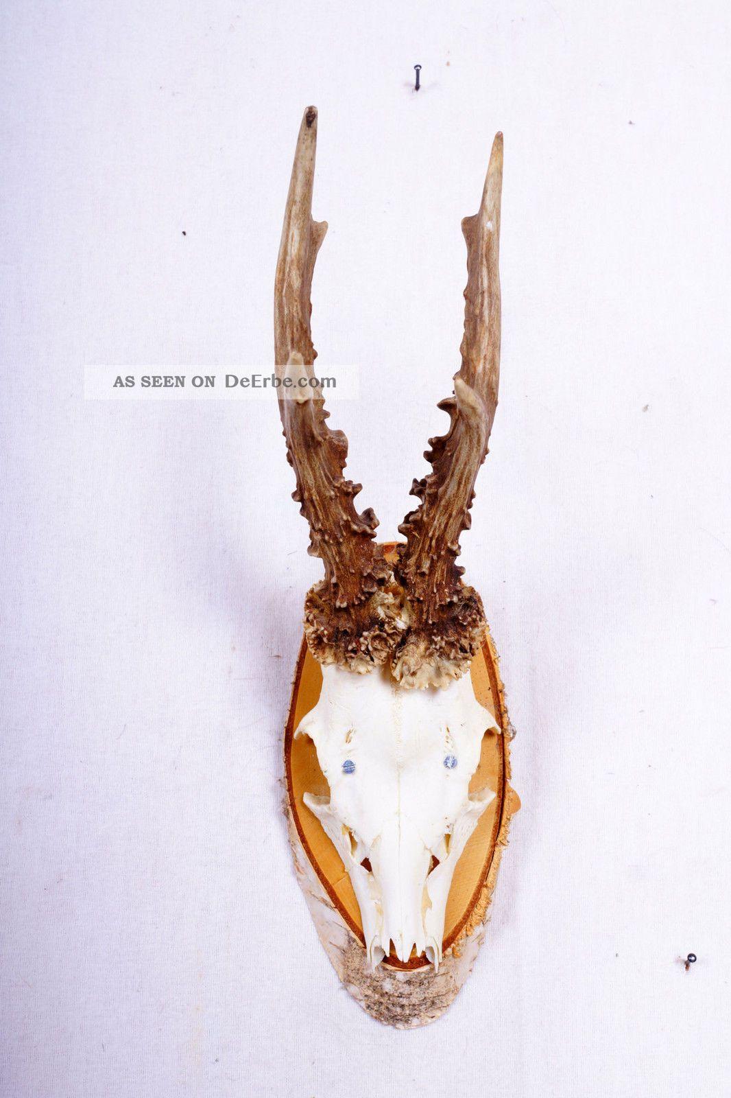 6 Ender Rehgeweih Auf Naturholzbrett Roe Deer Trophy Höhe: 34 Cm Jagd & Fischen Bild
