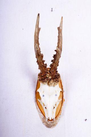 6 Ender Rehgeweih Auf Naturholzbrett Roe Deer Trophy Höhe: 34 Cm Bild